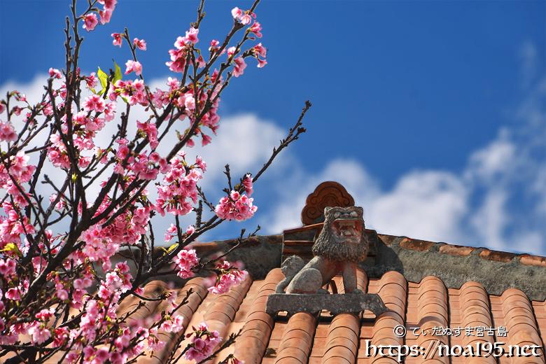 赤瓦屋根の上のシーサーと寒緋桜