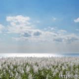 銀色に輝く冬のさとうきび畑