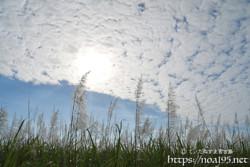 うろこ雲とサトウキビの穂