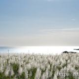 銀色に輝くサトウキビ畑