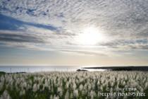 うろこ雲と輝くさとうきびの穂