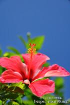 ハイビスカスの花と青空