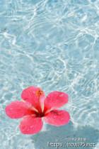 ハイビスカスの花と輝く波紋