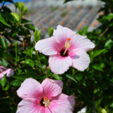 赤瓦屋根の民家とハイビスカスの花