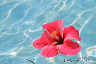 海面を漂うハイビスカスの花【