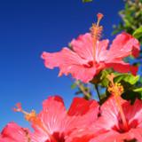青空に向かって元気に咲くハイビスカス