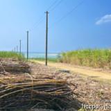 収穫されたサトウキビと海へ続く道