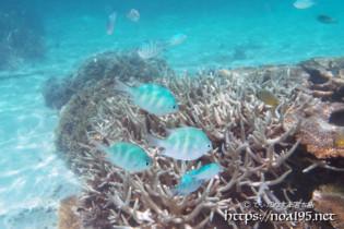 サンゴとオヤビッチャたち