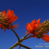 青空に映えるデイゴの花