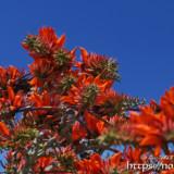 青空とデイゴの花々