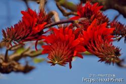 真紅のデイゴの花