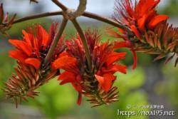 サークル状に咲くデイゴの花