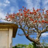 花をつけたデイゴの木