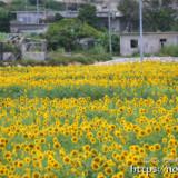 西中のヒマワリ畑