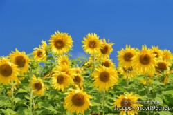一斉に見つめるひまわりの花たち