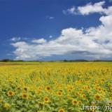 下北のヒマワリ畑