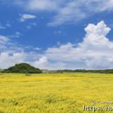 新城のヒマワリ畑