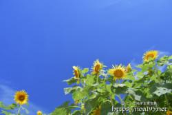 青空とひまわりの花