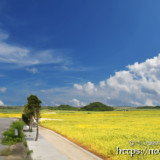 新城・農道脇のヒマワリ畑