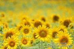 ひまわりたちの黄色い絨毯