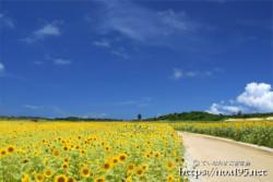 新城・ひまわり畑の中の小道