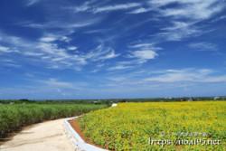 伊良部島・農道脇のヒマワリ畑