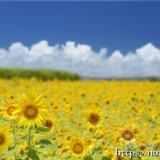 ヒマワリの黄色い絨毯