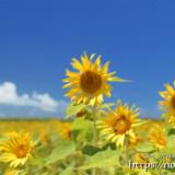 青空とひまわりの花たち