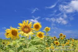 青空とヒマワリの花たち
