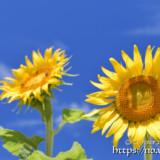 太陽をみつめるヒマワリの花
