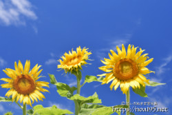 青空とヒマワリの花