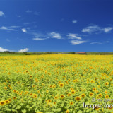 伊良部島のヒマワリ畑