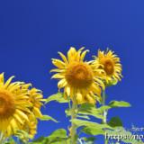 太陽を見上げるヒマワリの花