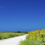 伊良部島・ヒマワリ畑の中の小道