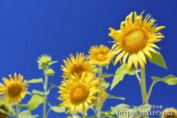 太陽をみつめるひまわりの花