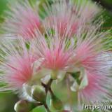 可憐なサガリバナの花