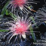 花火のようなサガリバナの花