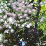 水面のサガリバナと木々