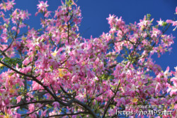 満開のトックリキワタの花