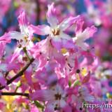 満開のピンクの花-トックリキワタ-