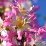 可愛いピンクの花-トックリキワタ-