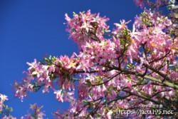 枝いっぱいに咲く花々-トックリキワタ-