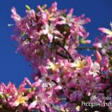 枝いっぱいに咲く花-トックリキワタ-