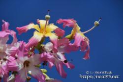 空に向かってのびる雌しべ-トックリキワタ-