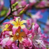 可愛い星型の花-トックリキワタ-