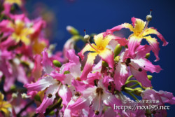 青空に映える満開の花々-トックリキワタ-