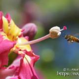 ミツバチとめしべ-トックリキワタ-