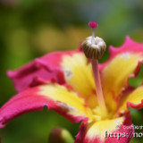 ピンク色の可愛い雌しべ-トックリキワタ-