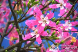青空とピンクのお星様-トックリキワタ-