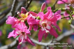 ピンク色のお星様-トックリキワタ-
